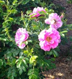 Jenz Munk, a heritage wild rose.