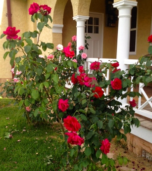 A selection of some of the original roses outside the Chapel verandah.